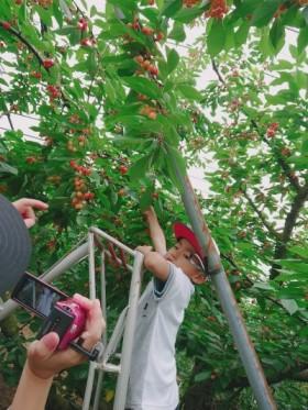 福島市みちのく果樹園でさくらんぼ狩り