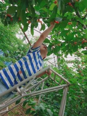 福島市みちのく果樹園さんでさくらんぼ狩り|郡山市 注文住宅 大原工務店のブログ