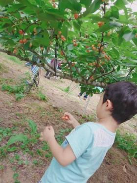 福島市みちのく果樹園さんでさくらんぼ狩り