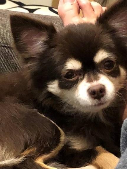 愛犬のチワワのミルキーです。|郡山市 新築住宅 大原工務店のブログ