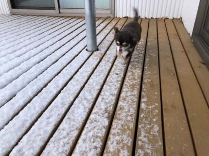 愛犬のチワワのミルキーちゃんです。|郡山市 新築住宅 大原工務店のブログ