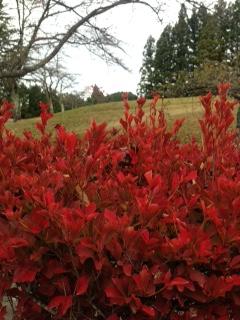 紅葉で庭木も赤くなりました