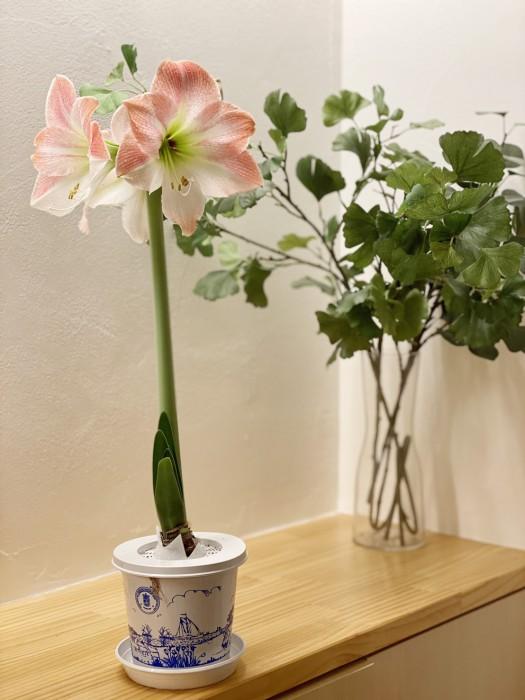 アマリリスの花が咲きました|郡山市 新築住宅 大原工務店のブログ