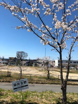 阿武隈川沿いの桜です。|郡山市 新築住宅 大原工務店のブログ
